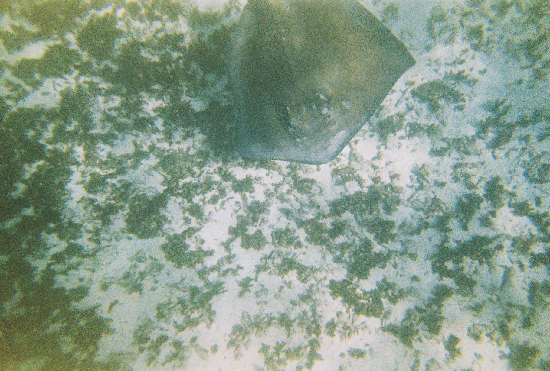 A stingray swimming on the bottom of the ocean off a coral reef in Tulum Mexcio. Underwater expired film photograph. Photographer Nick Barry